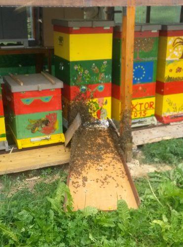 Preprečevanje rojenja čebel